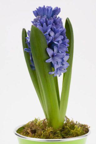 hyacinth-1230667_960_720